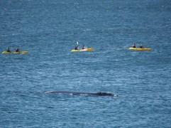 Kayak ballena