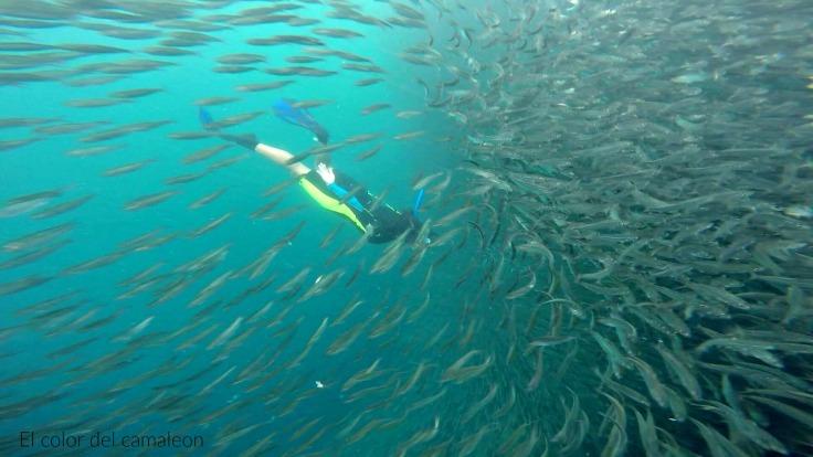 sardines-run