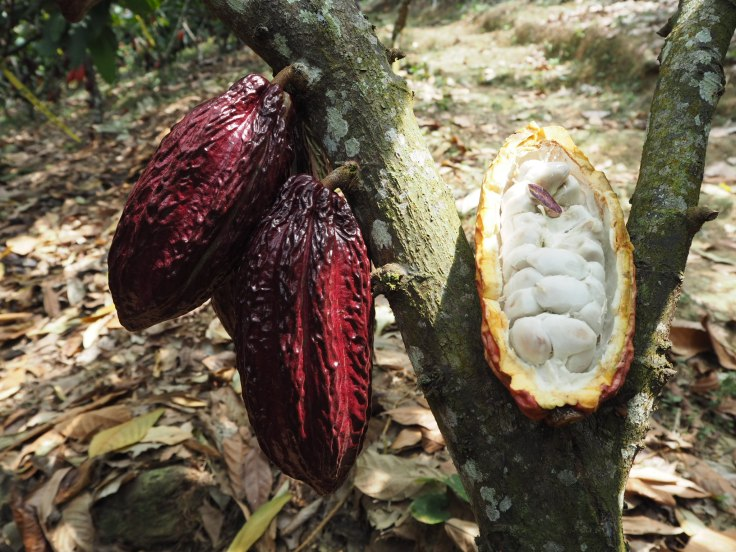 cacaosantander