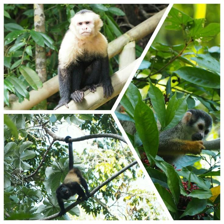 monos costa rica