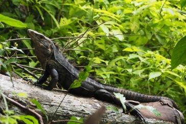 Iguanas que no falten