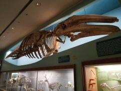 Esqueleto de ballena en el M. de Historia Natural