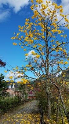 Guayacan en flor